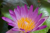 Purple lotus — Stock Photo