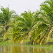 Coconut tree — Stock Photo #4263438
