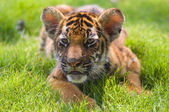 Little tiger — Stock Photo