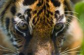 少し虎の目 — ストック写真