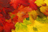 Colored leaves — Stock Photo