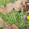 Dandelion in leaves and grass — Stock Photo