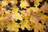 Dry yellow leaves — Stock Photo