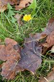 Dandelion in leaves — Stock Photo