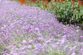 Purple flower carpet background — Stock Photo