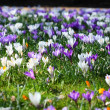 Crocus flowers - Stock Photo