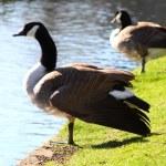 Mute swan — Stock Photo #5281140