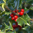 Stock Photo: Holly Plant