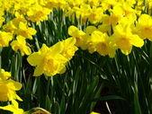 Daffodils narcissus — Stock Photo
