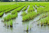 Paddy field — Fotografia Stock