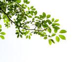 Hoja verde sobre fondo blanco — Foto de Stock