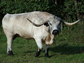 Cadzow Bull — Stock Photo
