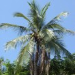 Stock Photo: Coconut palm tree, Thailand