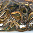 Basin of eels — Stock Photo