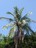 Coconut palm tree, Thailand — Stock Photo