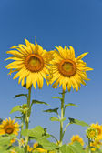 Two sun flowers in the garden — Stock Photo