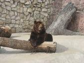 Bear in the zoo. — Stock Photo