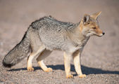 Patagonian grey fox (Dusicyon culpaeus) — Stock Photo