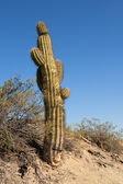 Cactus in a desert landscape. — Stock Photo