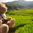 Stock Photo: Rice field and bear