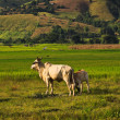 Rice field and cow — Stock Photo