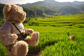 Rice field and bear — Stock Photo