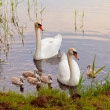 Stock Photo: Swans with nestlings at sunset