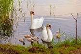 Swans with nestlings at sunset — Stok fotoğraf