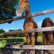 Two horses in paddock — Stock Photo #4992479
