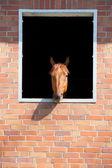 Pferd außerhalb stall suchen — Stockfoto