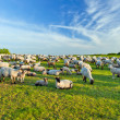 A summer landscape and herd sheep — Stock Photo