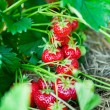 Closeup of fresh organic strawberries - Stock Photo