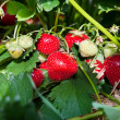 Closeup of fresh organic strawberries — Stock Photo #5100824