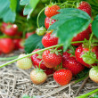 closeup of fresh organic strawberries — Stock Photo