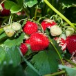 Foto de Stock  : Closeup of fresh organic strawberries