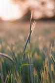 Close up of wheat on sunset — Stock Photo