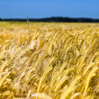 Field of wheat over blue sky — Stock Photo