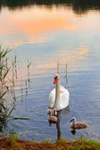 łabędzie z pisklęta na zachodzie słońca — Zdjęcie stockowe