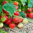 Closeup of fresh organic strawberries — Stock Photo #5339665