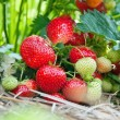 Closeup of fresh organic strawberries — Stock Photo #5339898