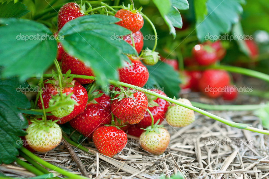Closeup of fresh organic strawberries growing on the vine — Stock Photo #5339665