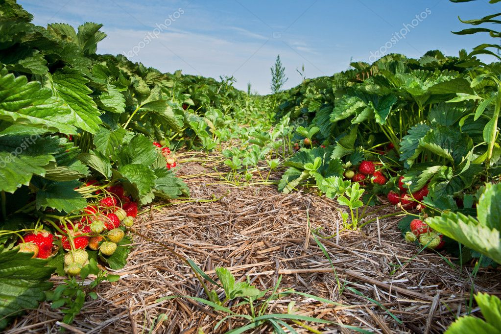 Closeup of fresh organic strawberries growing on the vine — Stock Photo #5339718