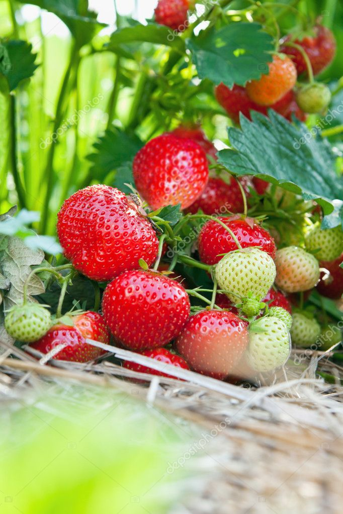 Closeup of fresh organic strawberries growing on the vine — Stock Photo #5339898
