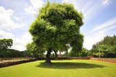 Big tree near the ruins — Stock Photo