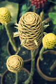 Hardy Cone Flower — Stock Photo