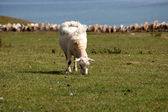 A sheep grazing in a field — Stock Photo
