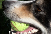Close up of border collie — Stock Photo
