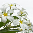 Stock Photo: White flower