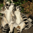 Stock Photo: Ring-tailed lemurs