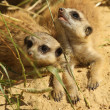 Two baby meerkats looking up - Stock Photo